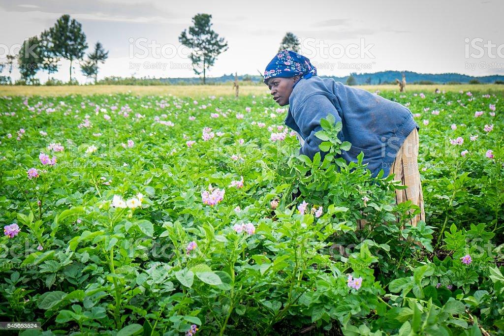 Femail Potato Farmer stock photo
