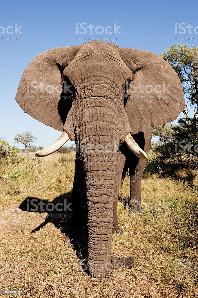 Female African Elephant, head on, Botswana, Africa stock photo