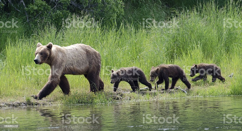 Female Alaskan brown bear with cubs stock photo