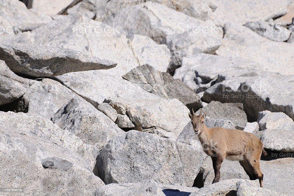 Female alpine ibex among boulders stock photo