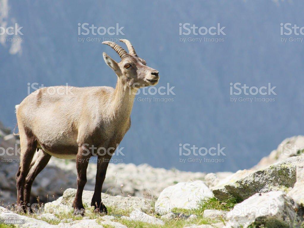 Female alpine steinbock on a rock stock photo