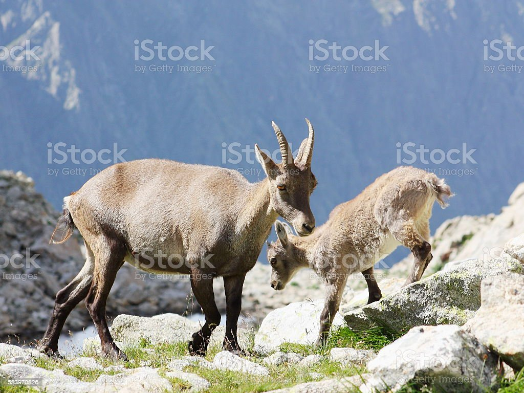 Female Alpine Steinbock with young stock photo