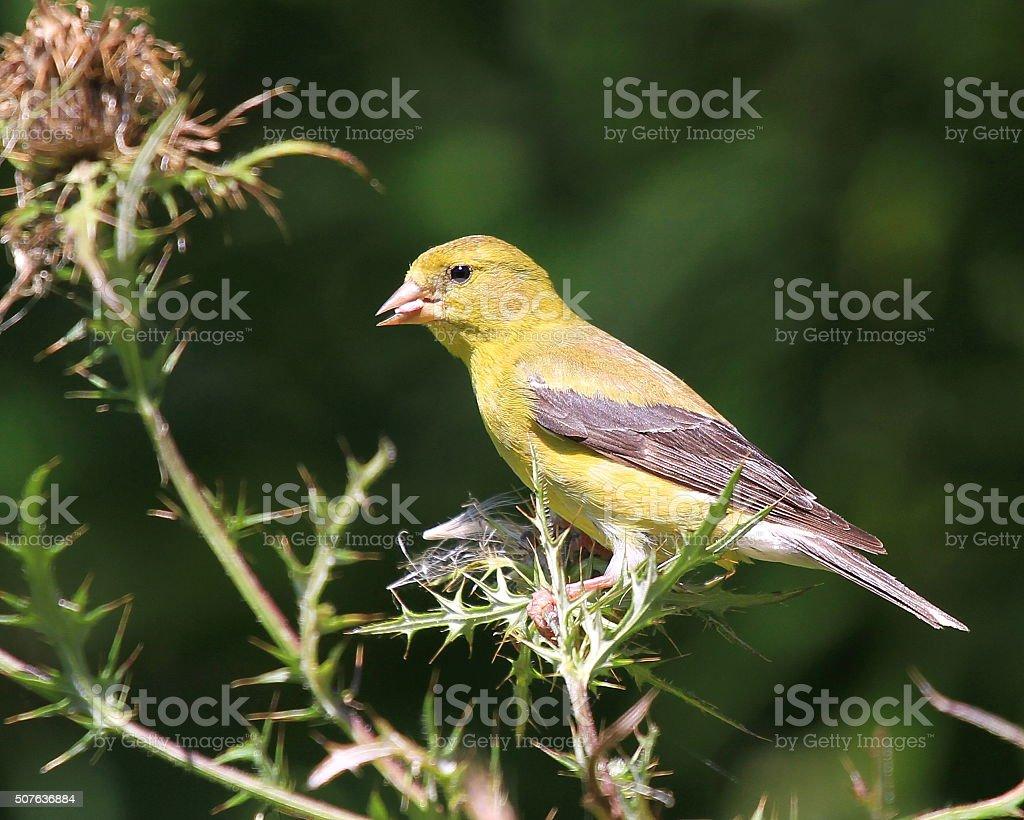 Female American Goldfinch stock photo