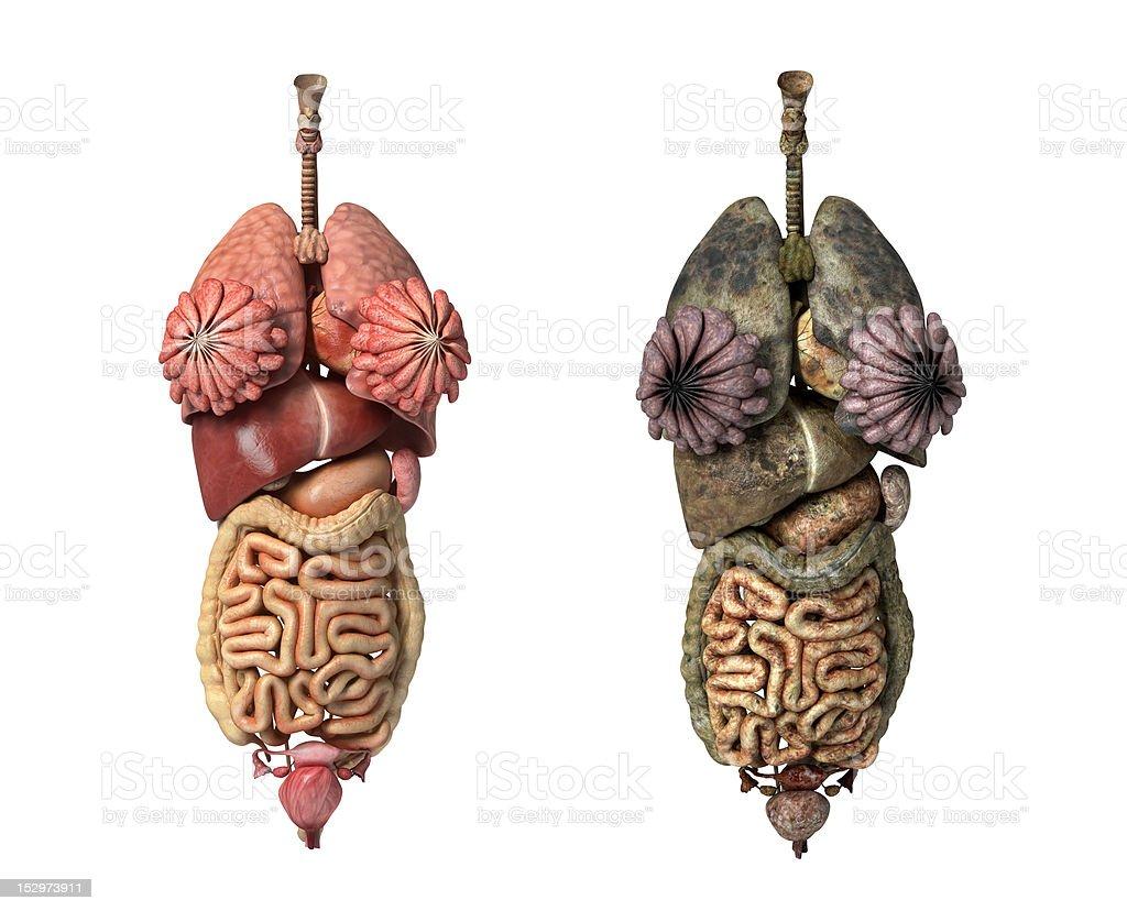 Female anatomy full internal organs. stock photo
