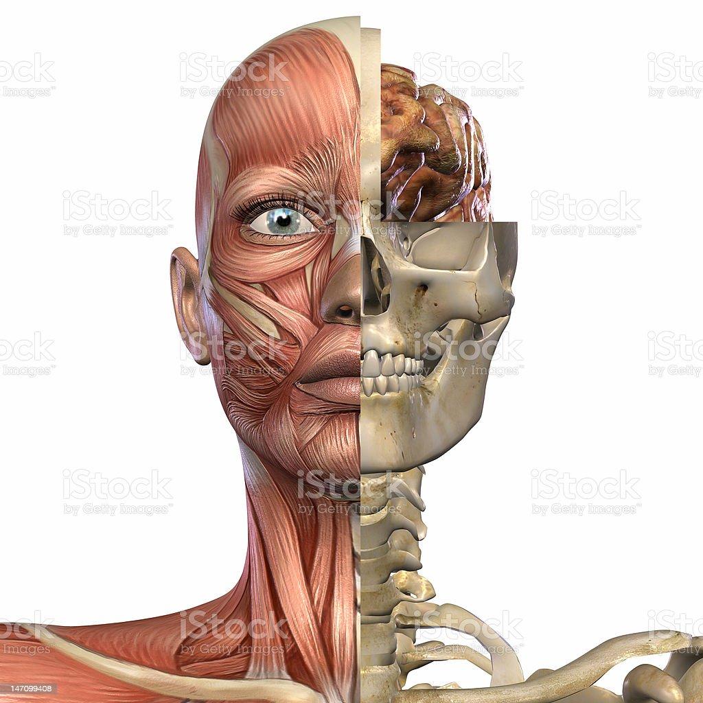 Female Anatomy Head royalty-free stock photo