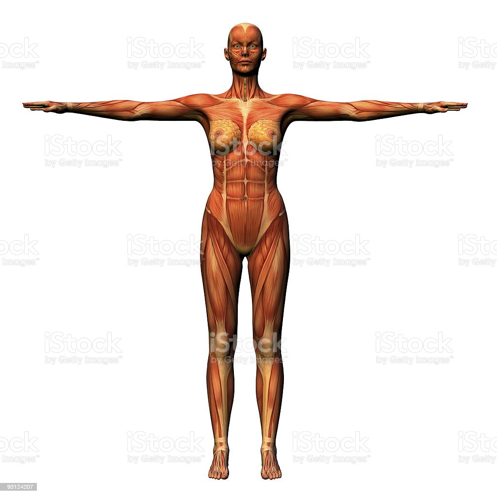 Female Anatomy - Musculature stock photo