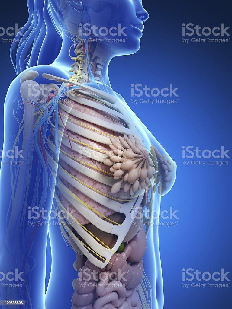 female anatomy - upper body stock photo
