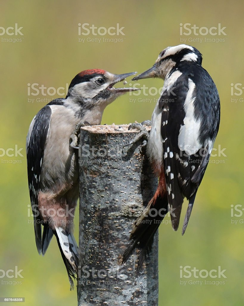 Female and Juvenile Great Spotted Woodpeckers stock photo