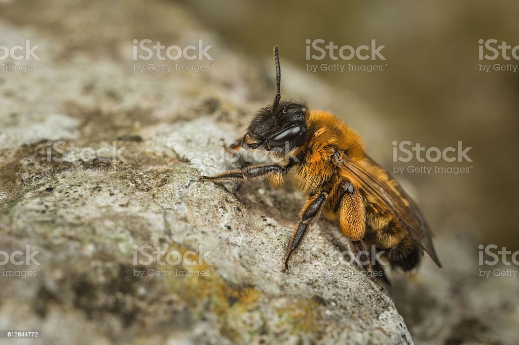 Female Andrena Mining Bee stock photo