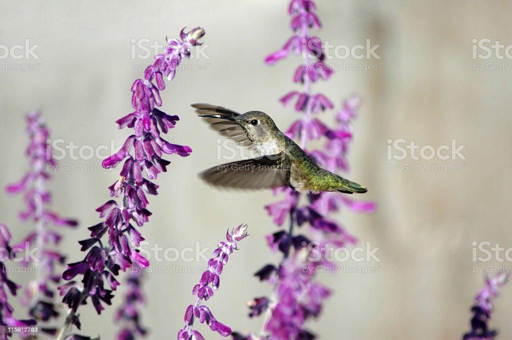 female Anna's hummingbird, Calypte anna stock photo