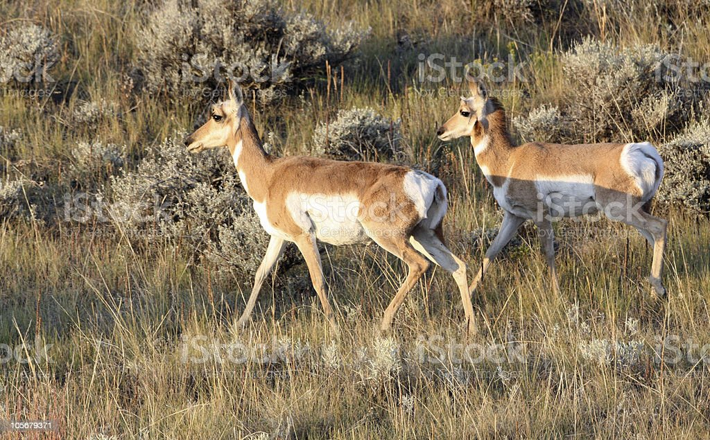 Female antelope with fully grown kid stock photo