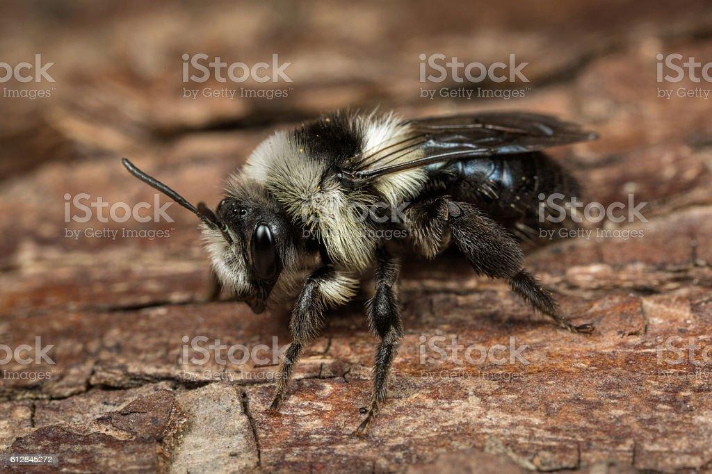 Female Ashy Mining Bee stock photo