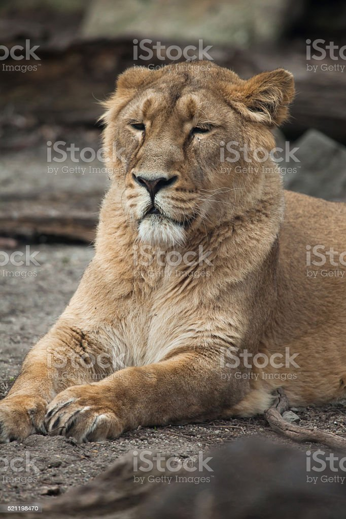 Female Asiatic lion (Panthera leo persica). stock photo