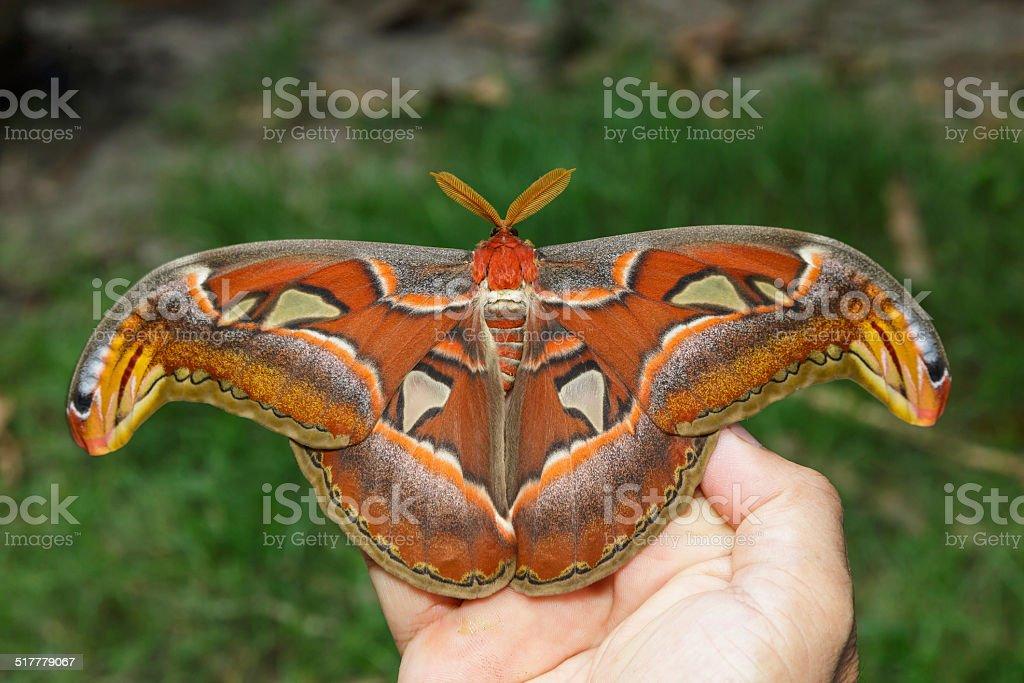 Female attacus atlas moth on hand stock photo