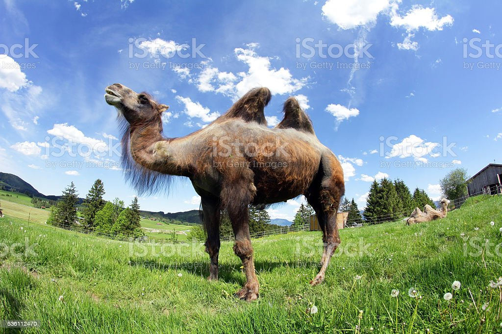 female Bactrian camel in Bavaria stock photo