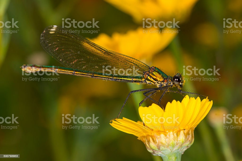 Female Banded Demoiselle Damselfly on Corn Marigold royalty-free stock photo
