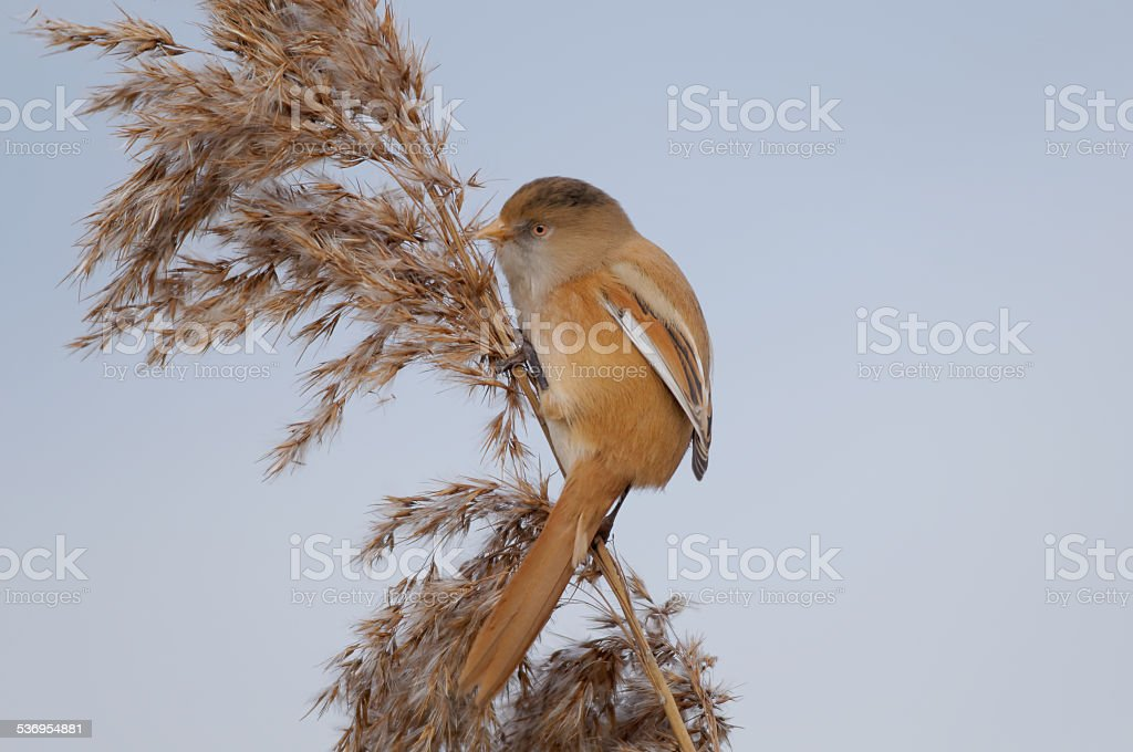 Female Bearded reedling on reeds stock photo