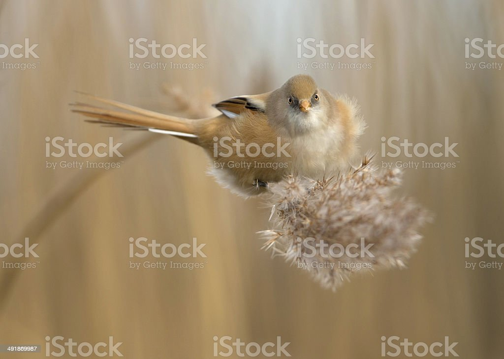 Female Bearded tit (Panurus biarmicus) stock photo