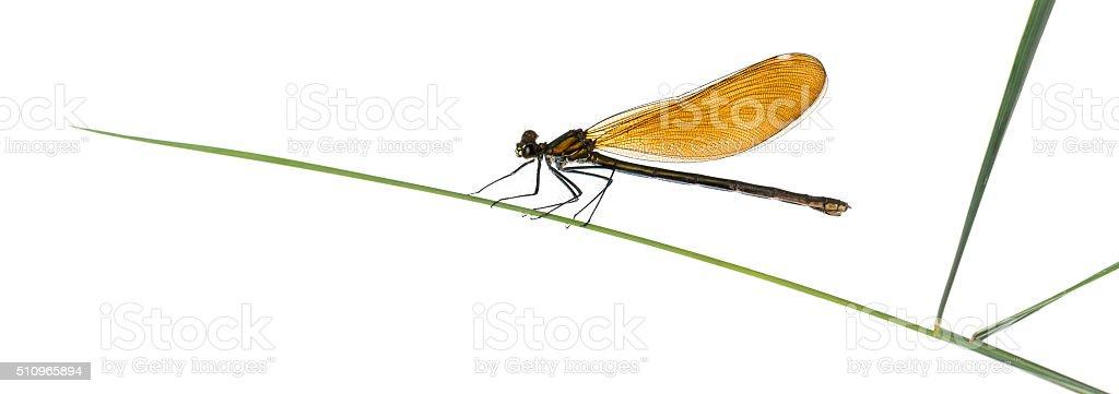 Female beautiful demoiselle - Calopteryx virgo, on grass blade stock photo