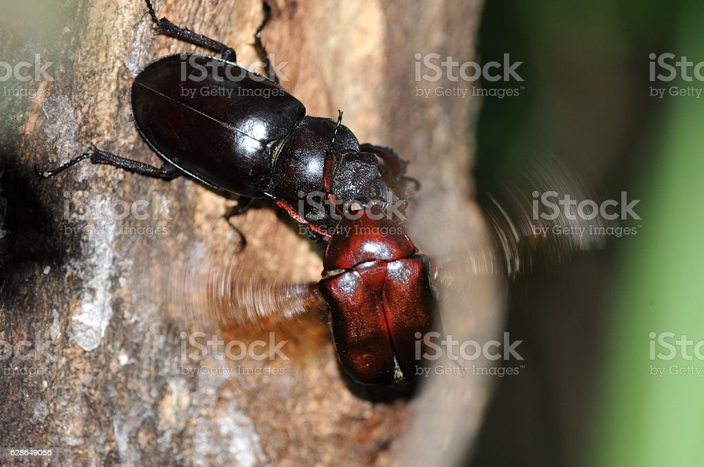Female beetle and canabn stock photo