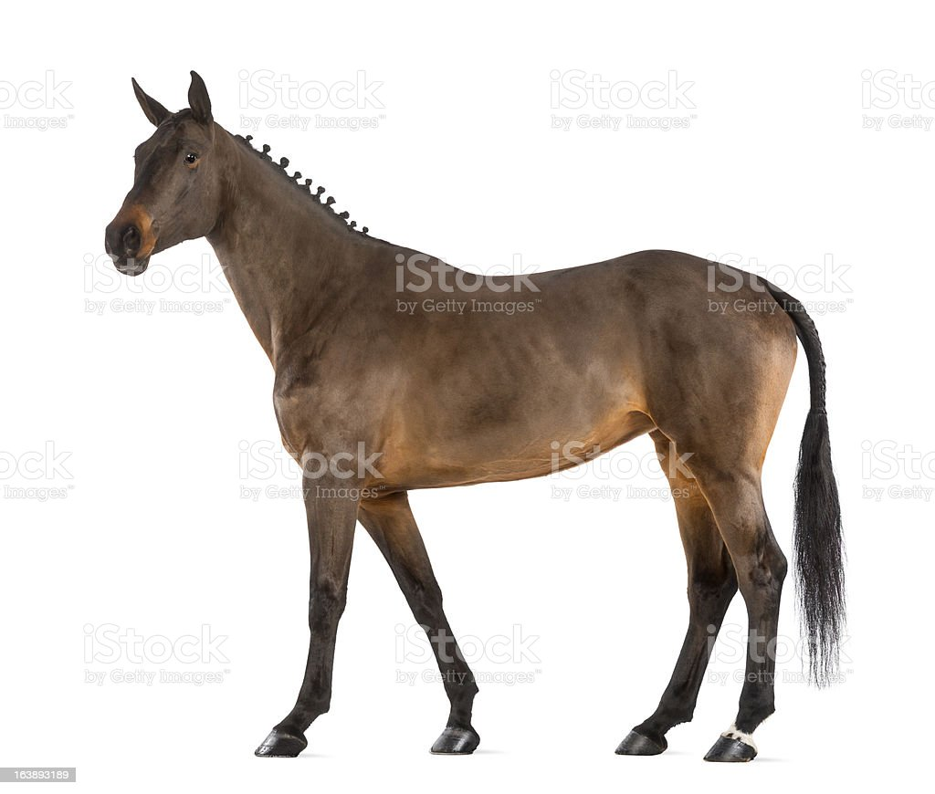Female Belgian Warmblood, BWP, 4 years old, with mane braided stock photo