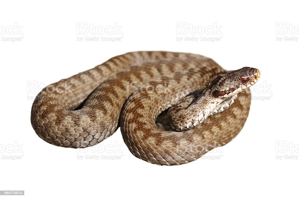 female berus viper over white stock photo