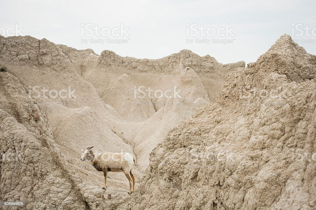 Female Big Horn Sheep in Badlands National Park South Dakota stock photo