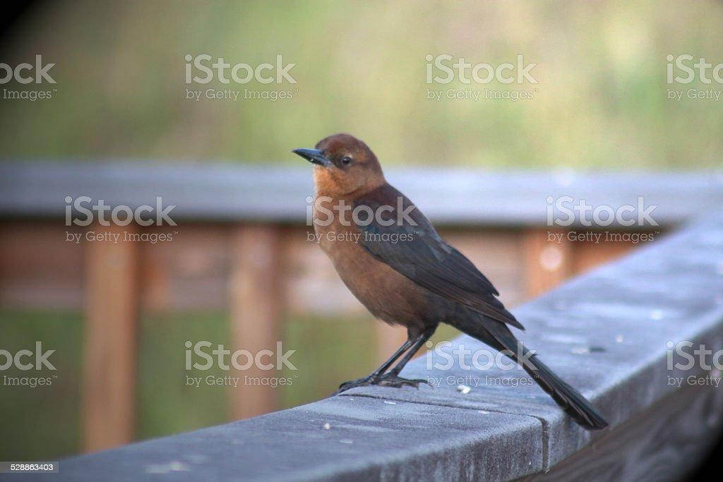Female Bird royalty-free stock photo