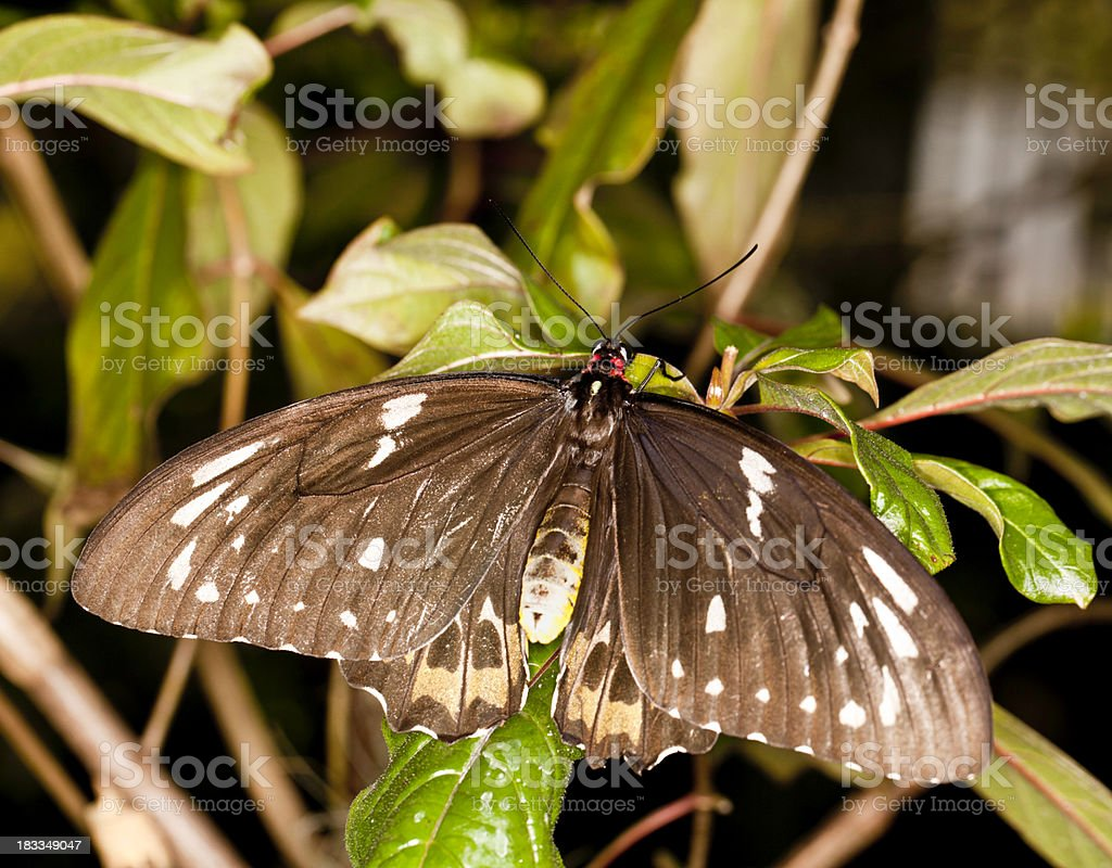 Female Birdwing butterfly (Ornithoptera priamus) stock photo
