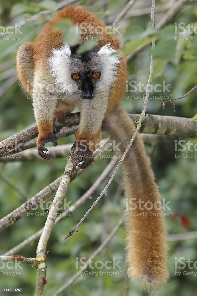 female black lemur royalty-free stock photo