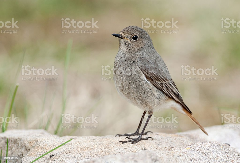 Female Black Redstart (Phoenicurus ochruros) royalty-free stock photo