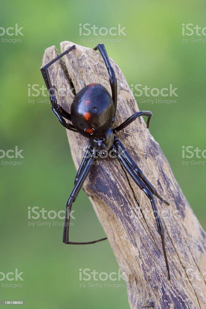 Female Black Widow Spider stock photo