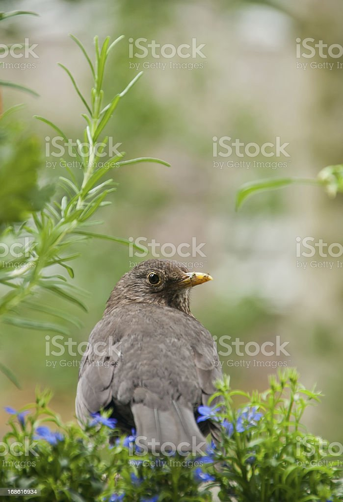 female blackbird looking at camera royalty-free stock photo