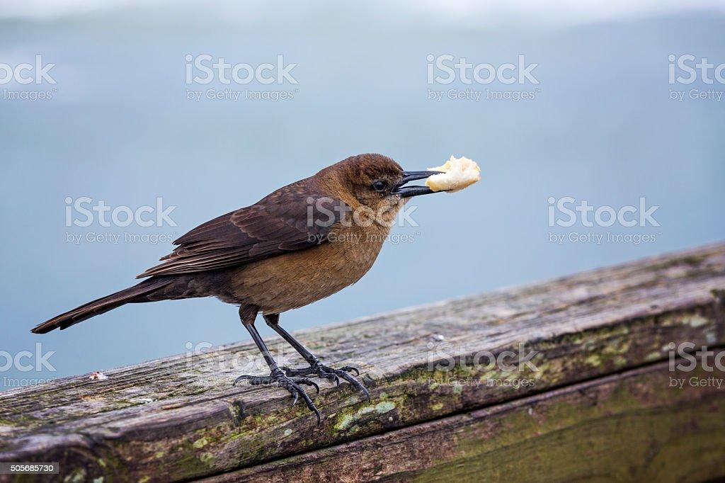 Female Blackbird with Breadcrumb stock photo