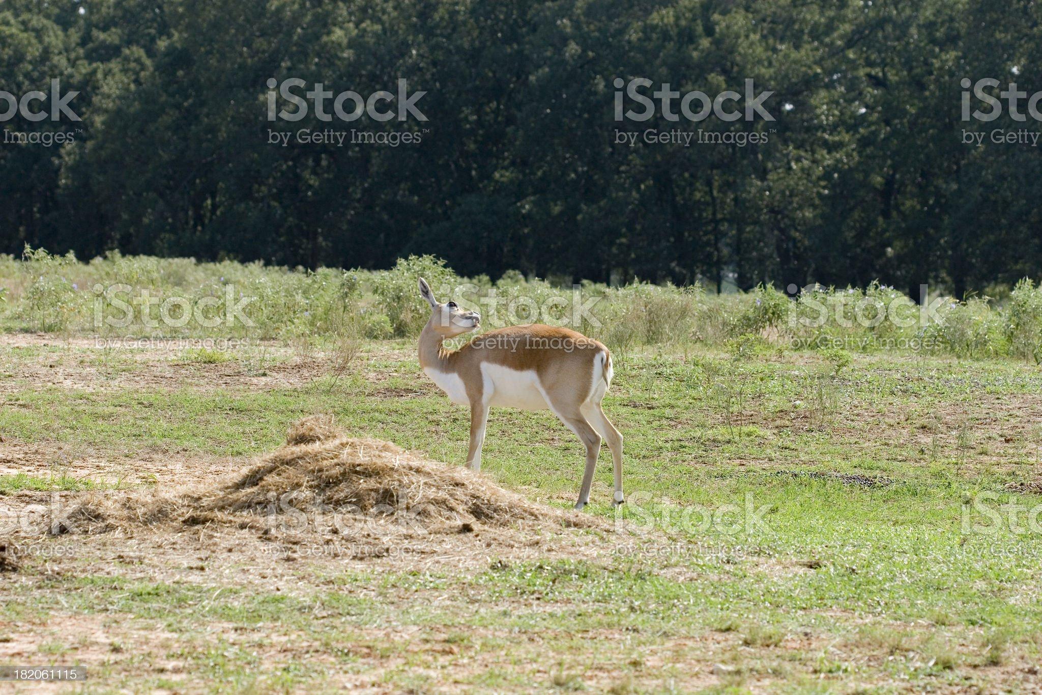 Female blackbuck antelope grooms herself royalty-free stock photo