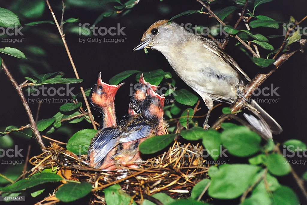 female Blackcap  to the nest stock photo