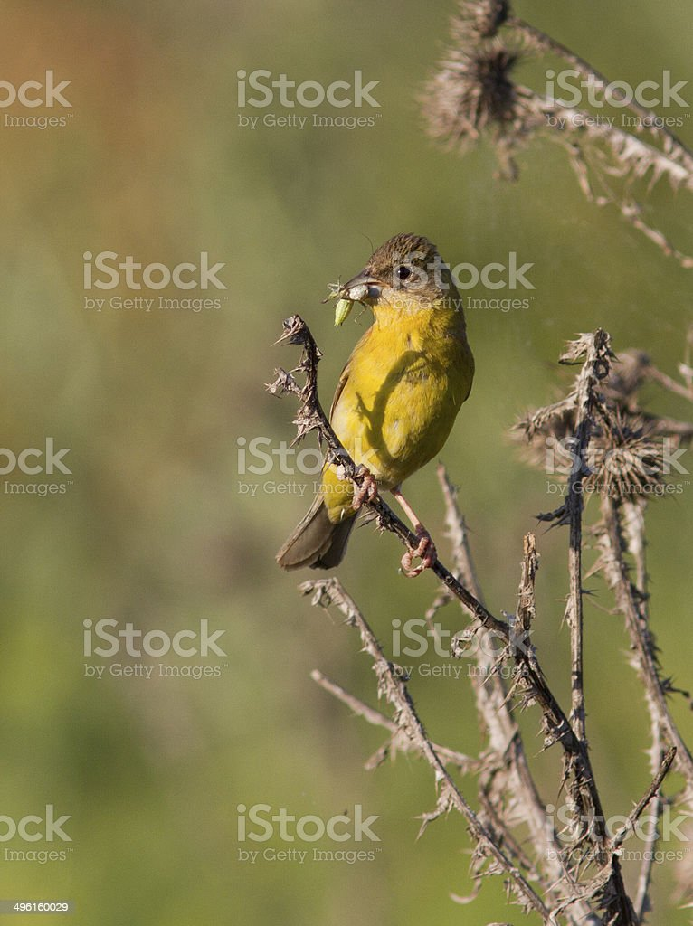 Female Black-headed Bunting with a grasshopper in its beak. stock photo