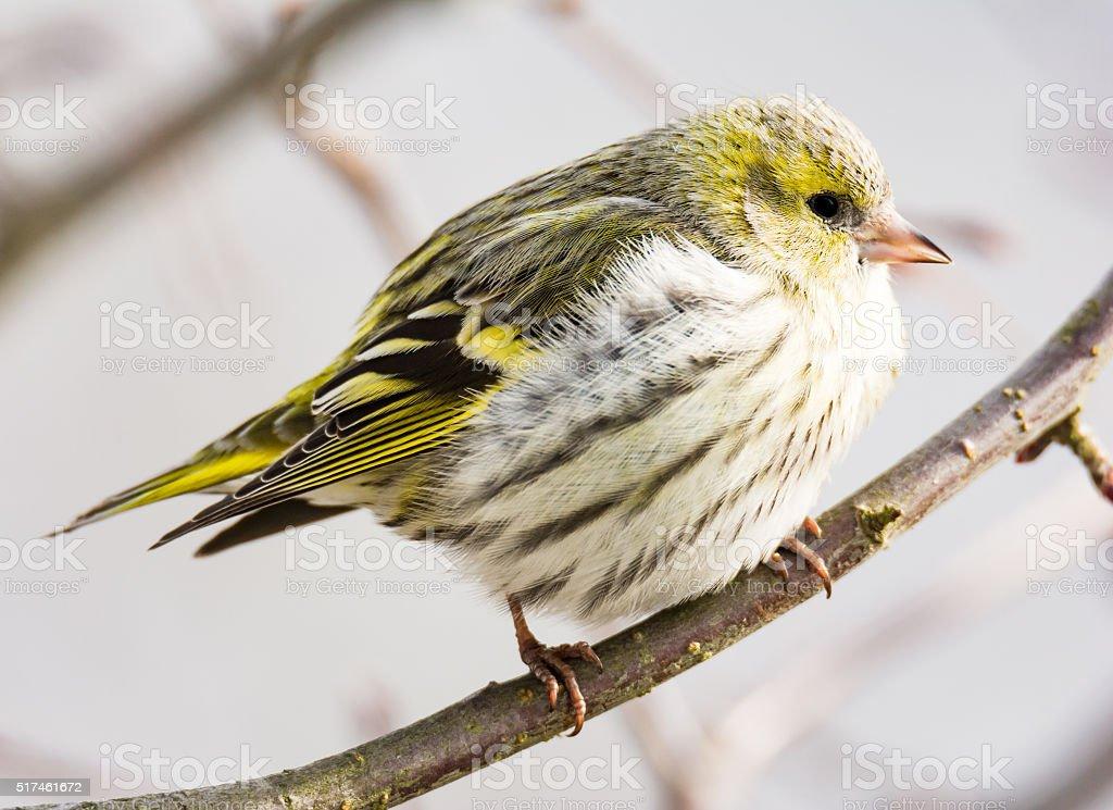 Female black-headed goldfinch stock photo