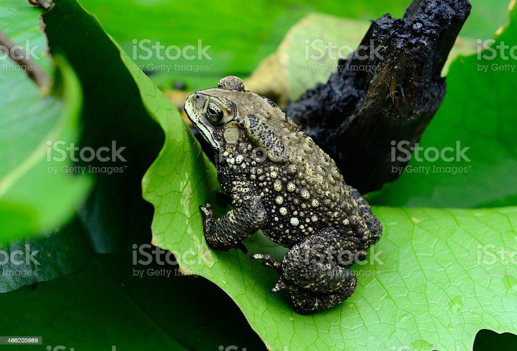 female Black-spined Toad (Bufo melanostictus) stock photo