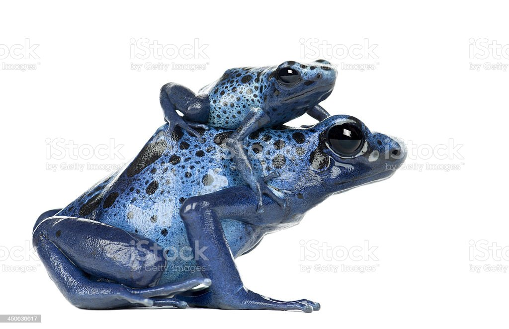 Female Blue and Black Poison Dart Frog with young stock photo