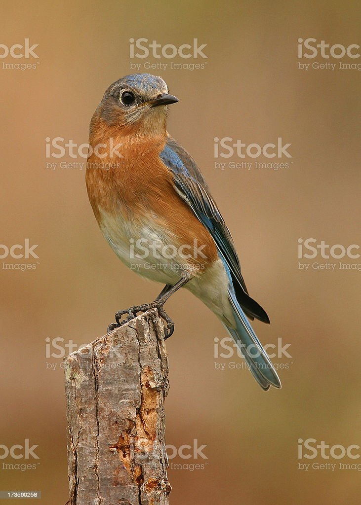 Female Blue Bird stock photo