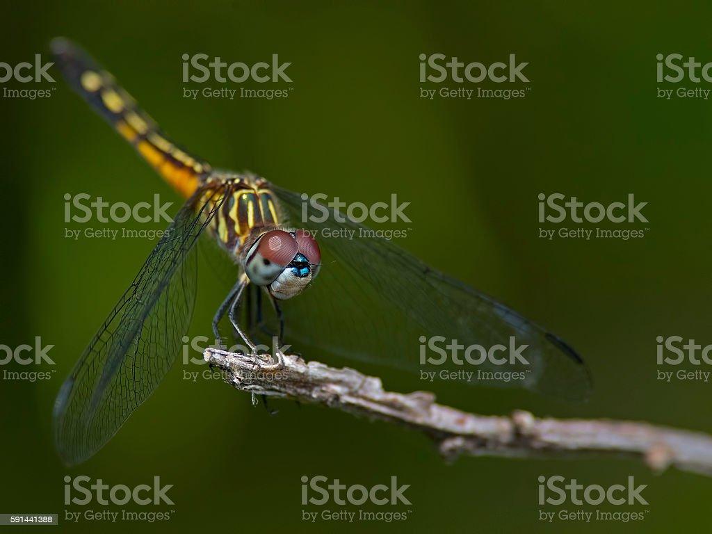 Female Blue Dasher Dragonfly stock photo