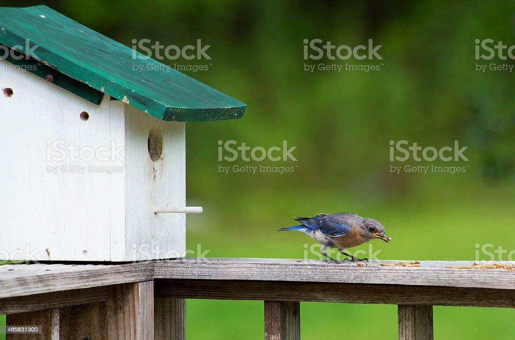 Female Bluebird feeding her babies dried mealworms. stock photo