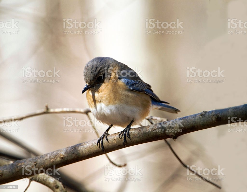 Female Bluebird in Winter royalty-free stock photo