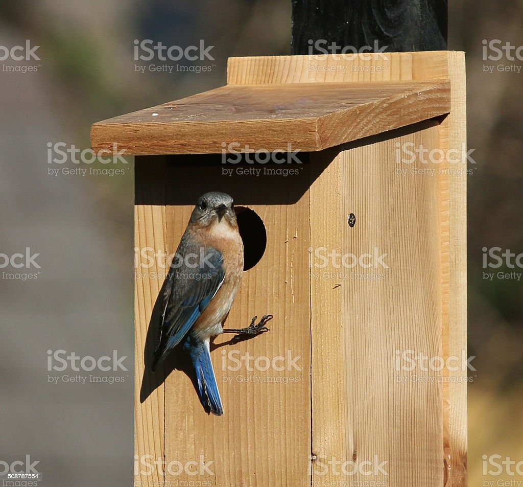 Female Bluebird Perching at Opening of her New Home stock photo