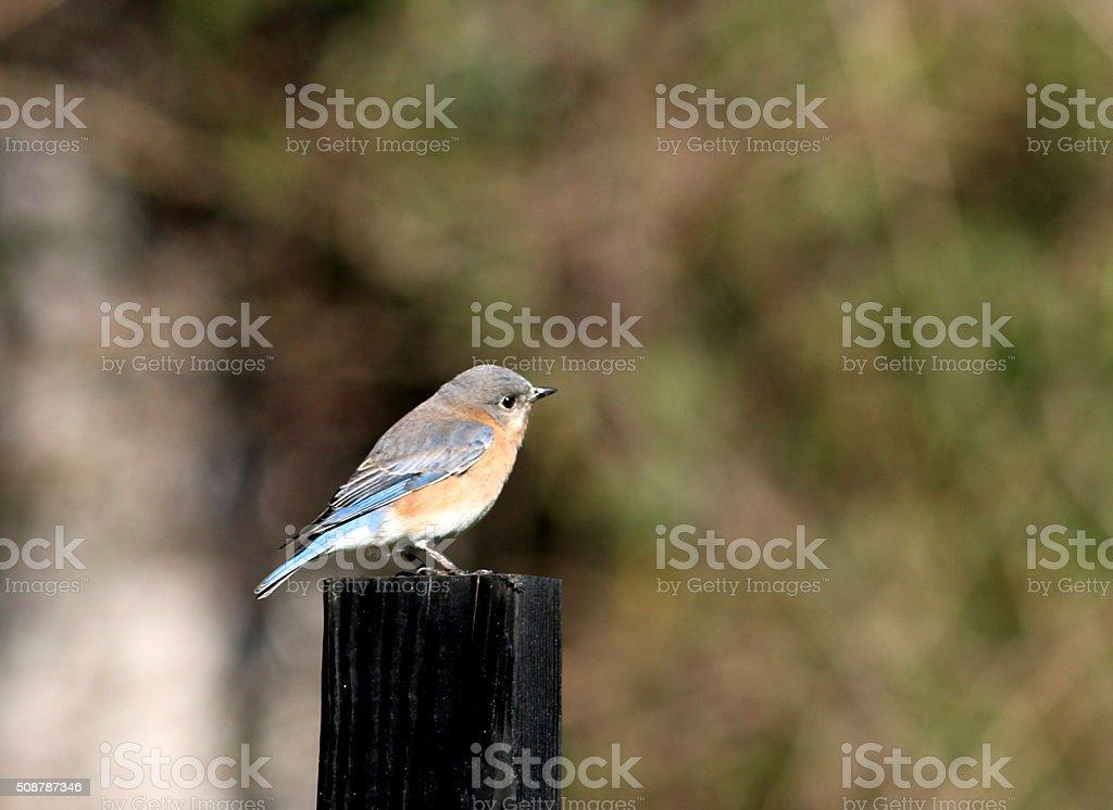 Female Bluebird stock photo