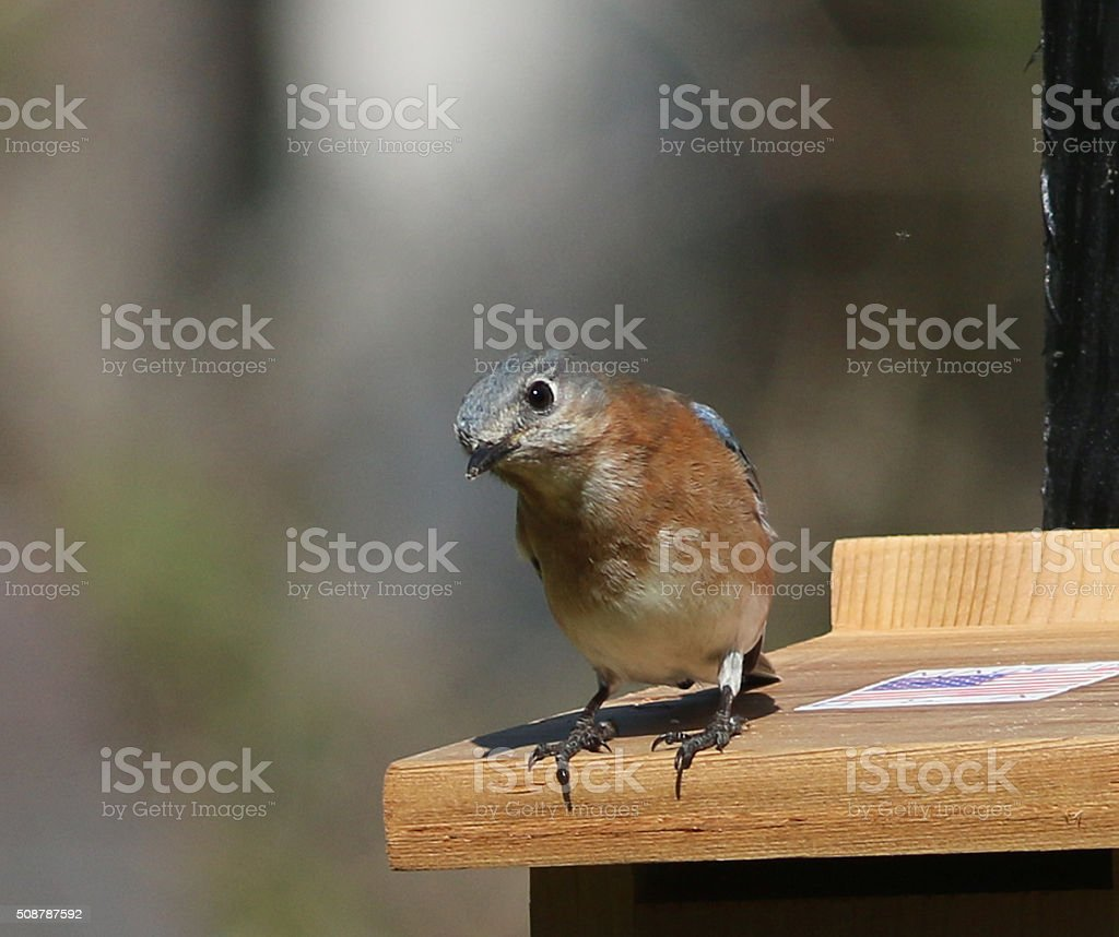 Female Bluebird with her Head Cocked stock photo