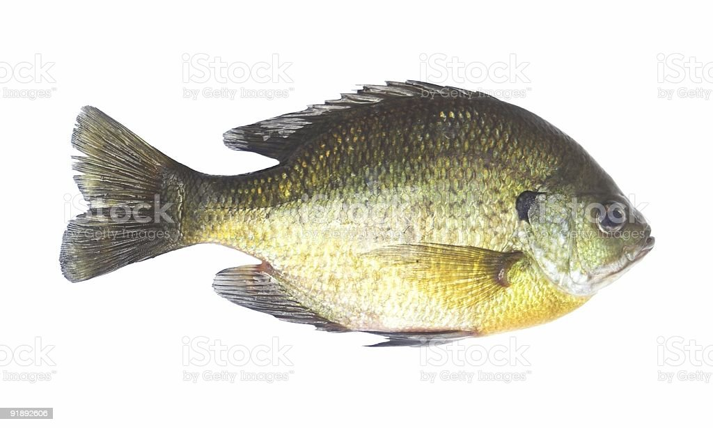 Female Bluegill stock photo