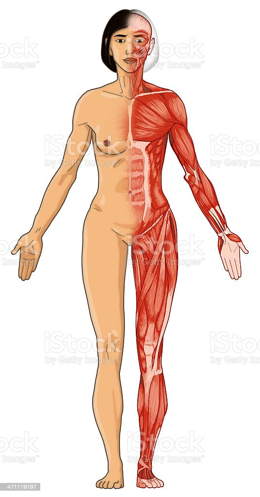 Female body, skin and muscles (bitmap) royalty-free stock photo