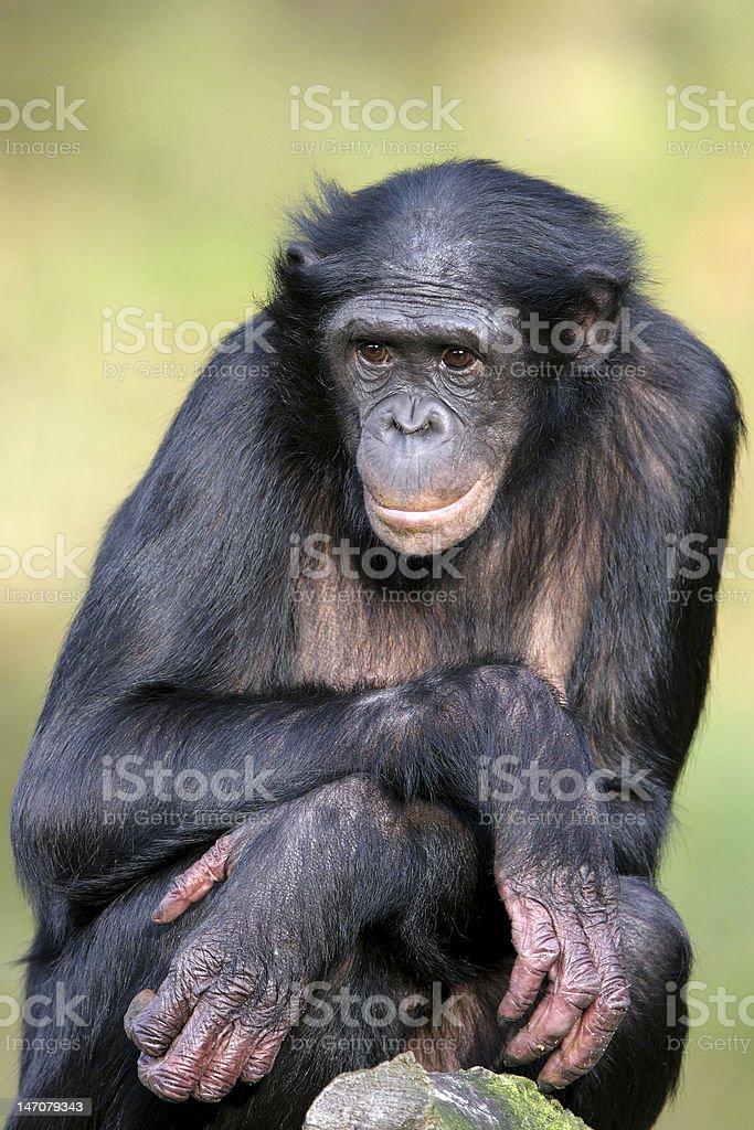 Female Bonobo monkey with crossed arms  stock photo